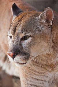 Schnauze des Pumas aus nächster Nähe, orange-gelbe Großkatze,