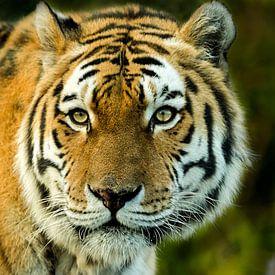 Siberische tijger van Sandra Kuijpers