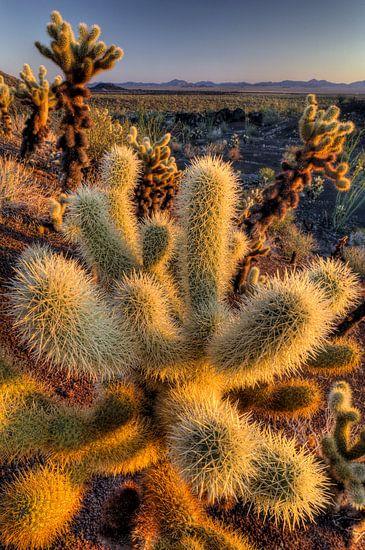 Cactus (Opuntia echinocarpa) in close-up in Organ Pipe Cactus National Monument, USA van Nature in Stock