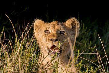 Löwenjunges im Gras Südafrika von John Stijnman