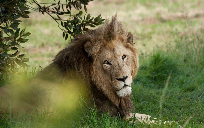 Rustende leeuw, Zuid Afrika van Chris van Kan