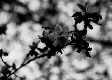 Apfelblüte von Iritxu Photography