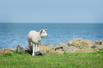 Lammetje bij de Waddenzee, Friesland van Maria-Maaike Dijkstra