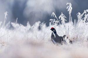 Vogels | Korhoen in de winter - Natuur Estland