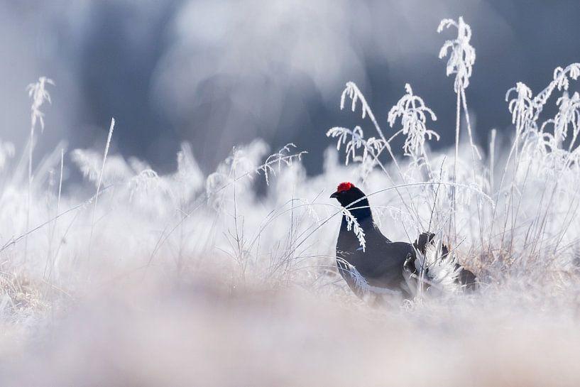 Vogels | Korhoen in de winter - Natuur Estland van Servan Ott