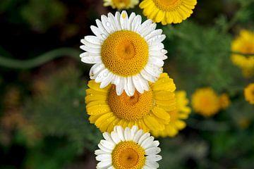 gelbe und weiße Margeriten von Anja Uhlemeyer-Wrona
