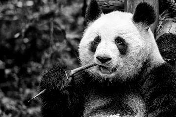 Etende Panda in Chiana van Michael Bollen
