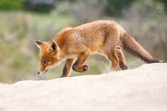 jonge vos
