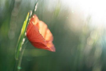 Mohnblumen im Licht der untergehenden Sonne #3 von Edwin Mooijaart