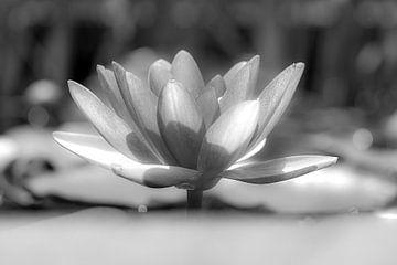 Seerose in Schwarz und Weiß von Humphry Jacobs