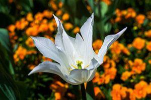 White Tulip van