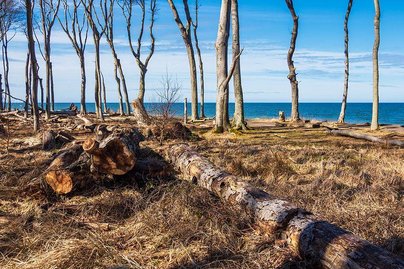 Gespensterwald an der Ostseeküste bei Nienhagen von Rico Ködder