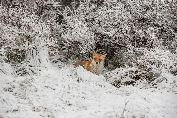 vos in sneeuw
