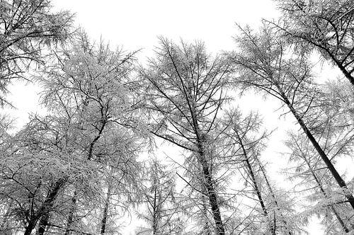 Dennenbomen in de sneeuw