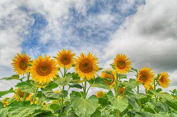 Zonnebloemen op een rij van