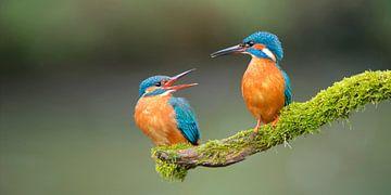 IJsvogel - Prille liefde in panorama