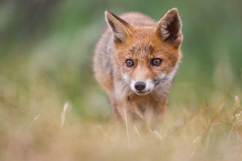 jonge vos van Pim Leijen