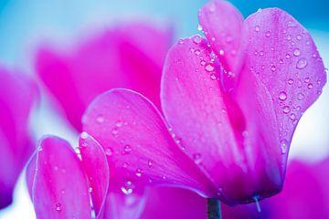 Cyclamen avec gouttes de pluie. sur GiPanini