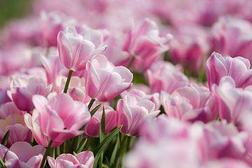 Tulpenpracht von Wilco Schippers