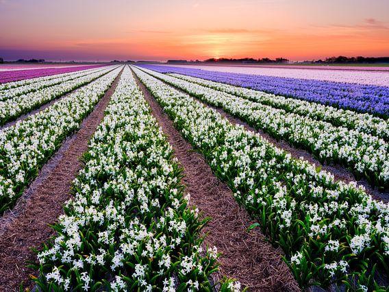 kleurrijk bloembollenveld tijdens de lente