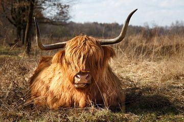 Schotse Hooglander van Hilda booy