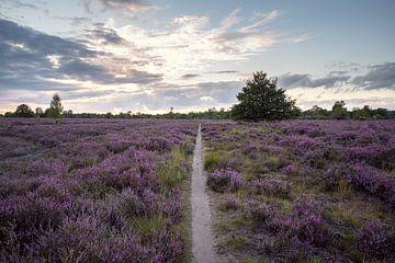 Blühendes lila Heidekraut mit Sonnenuntergang von Elles van der Veen