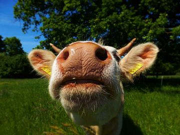 Curious cow sur Jessica Berendsen
