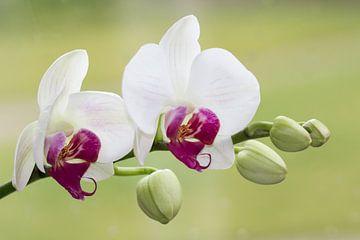 orchid von Caroline van Sambeeck