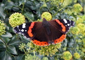 Vlinder Atalanta op klimop van Ina Hölzel