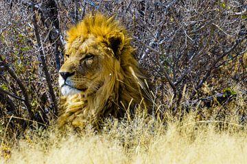 Lion in Etosha National Park von Jurgen Hermse