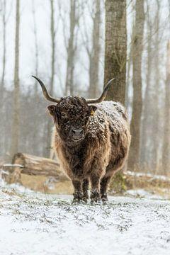 Schotse Hooglander in de sneeuw van Maria-Maaike Dijkstra