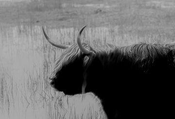 Schottischer Hochlandbewohner,Rockanje von Michel Van Giersbergen