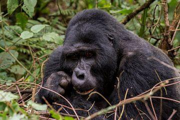 Afrikaanse berggorilla van Sander RB
