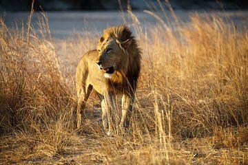 Leeuw, South Luangwa National Park van Marco Kost
