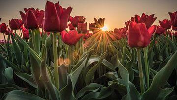 Zonnestralen door de tulpen heen von Jolanda Wisselo
