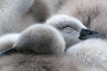 Frühling! Schlafen junge Schwäne von Rietje Bulthuis
