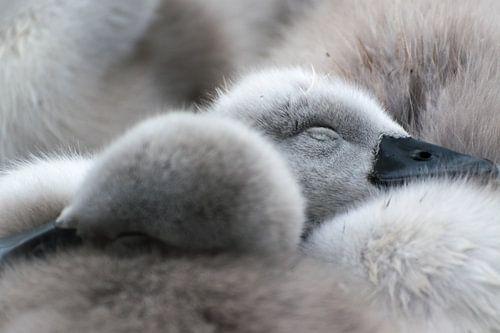 Lente! Slapende jonge zwaantjes