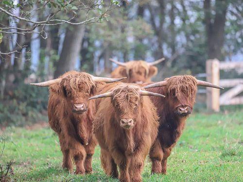 Schotse Hooglanders kwartet / Scottish highlanders quartet / van Karin van Rooijen