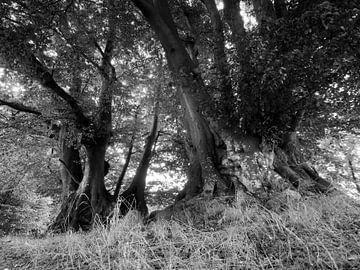 Alte Bäume von Jörg Hausmann