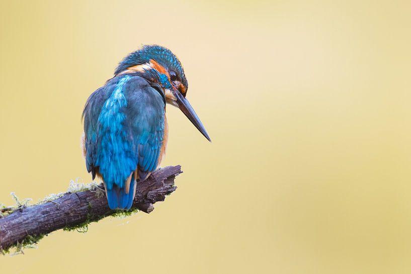 IJsvogel van Pim Leijen