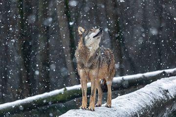 Europäischer Wolf von gea strucks