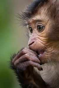 Porträt Baby Löwenschwanz-Makak von Amanda Blom