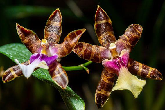 Orchidee van Adriaan Westra