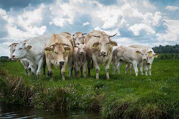 Koeien 2 sur Johan Vet