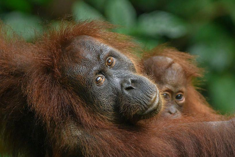 Orang-oetan moeder met kind van Richard Guijt