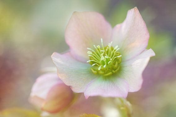 Helleborus dreams..... van LHJB Photography
