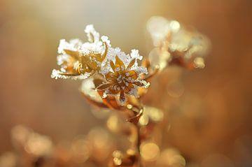 Eisblume van zwergl 0611