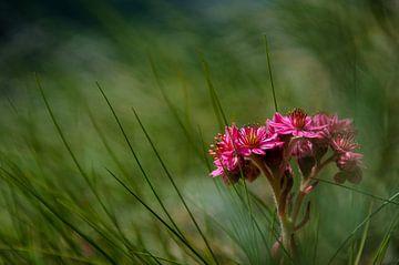 Wild flower van Cas Mulder