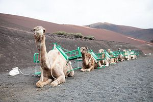 Dromedarissen op Lanzarote