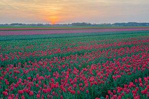 Tulpen in Drenthe